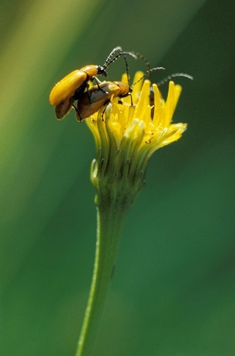 Stock Photo: 3153-665080 lilioceris lilii insects, colli park, italy