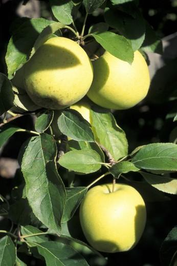 golden apple fruits, sondrio, italy : Stock Photo