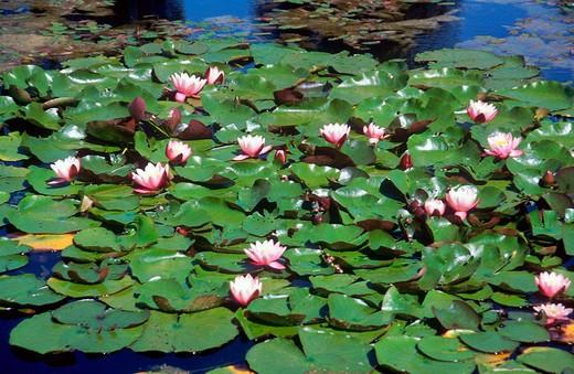 europe, latvia, gauja national park, waterlilies : Stock Photo