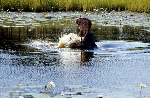 Stock Photo: 3153-673960 hippopotamus amphibius, amboseli national park, kenya
