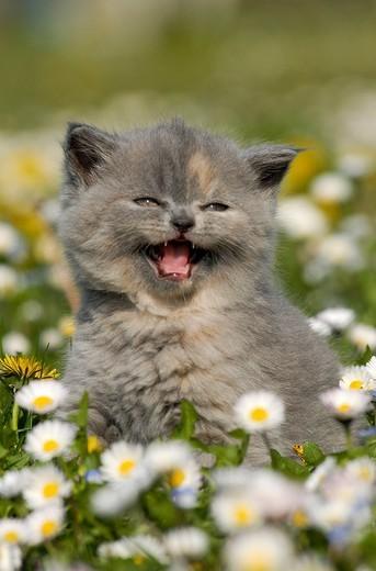 Stock Photo: 3153-674604 half_breed cat