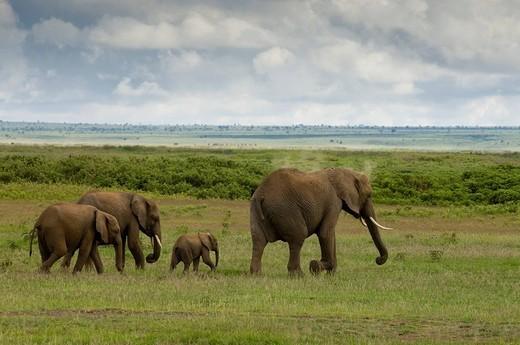 Elephants, Amboseli National Park, Kenya. : Stock Photo