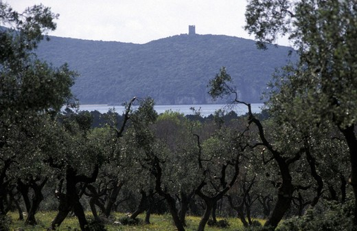 Stock Photo: 3153-680767 olive-grove in the park, maremma park, italy