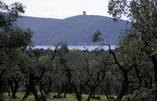 olive-grove in the park, maremma park, italy : Stock Photo