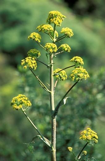 ferula communis, dorgali, italy : Stock Photo