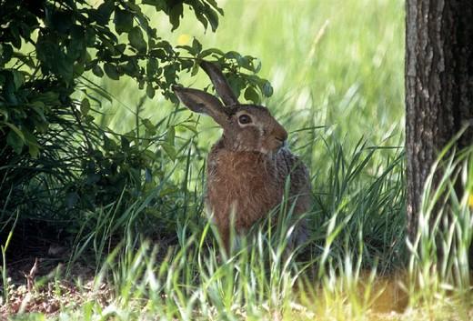 hare : Stock Photo