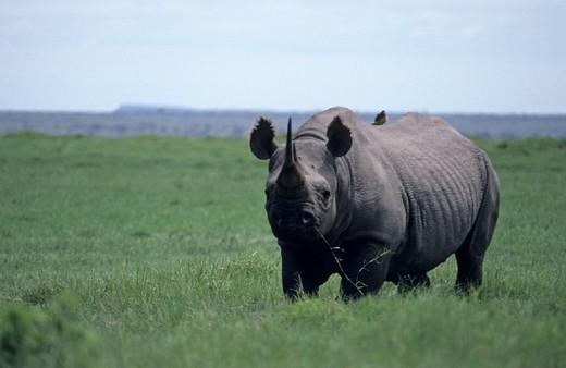africa, kenya, amboseli, black rhinoceros : Stock Photo