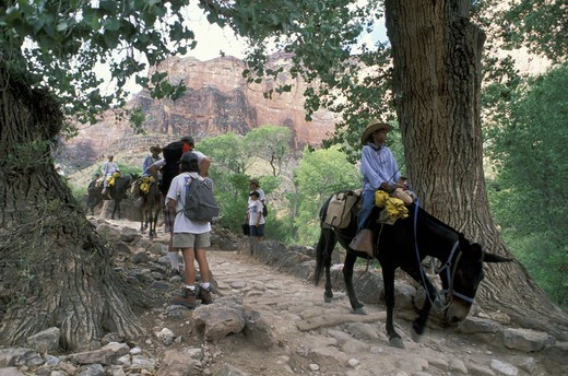 Stock Photo: 3153-690613 mules at bright angel trail, grand canyon n.p., usa
