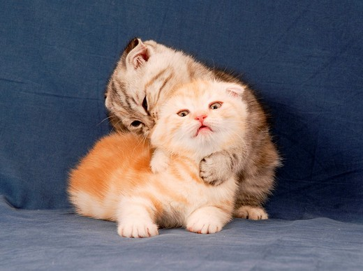 scottish fold : Stock Photo