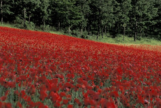 poppy flowers and cereals field, elcito, italy : Stock Photo