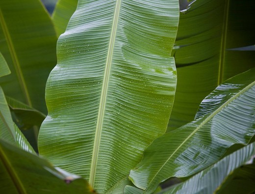 banana tree : Stock Photo