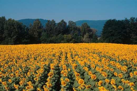 europe, italy, tuscany, farma_merse natural reserve, valley of the merse stream, sunflowers : Stock Photo