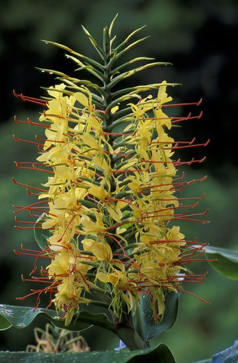 Stock Photo: 3153-702342 hedychium gardneranum flowers, sao miguel, portugal