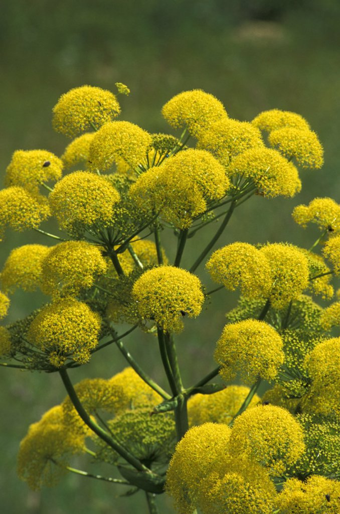 Stock Photo: 3153-702425 ferula communis flowers, gargano n.p., italy
