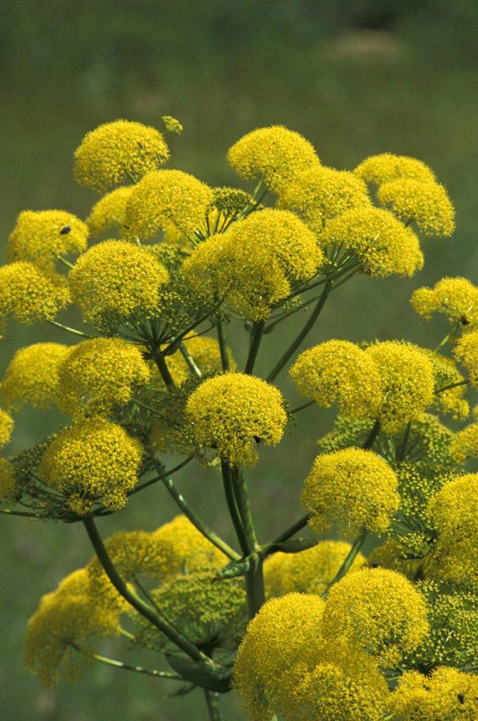 ferula communis flowers, gargano n.p., italy : Stock Photo