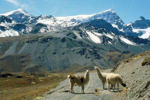 bolivia, lama : Stock Photo