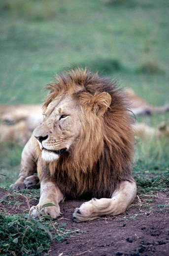 Stock Photo: 3153-706804 lion, maasai mara, kenya, africa