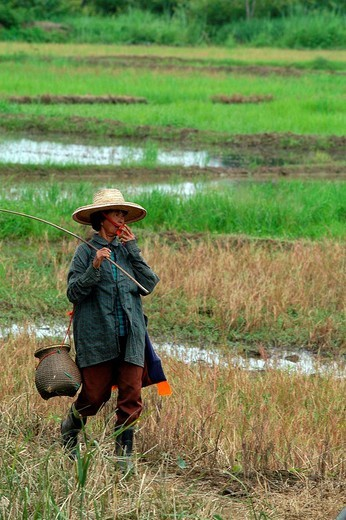 ricefield, chiang rai, thailand, southeast asia : Stock Photo