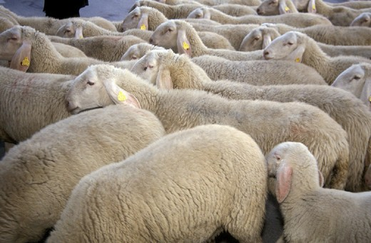 Stock Photo: 3153-712230 sheepherd, calolziocorte, italy
