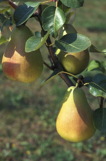 pears, s.floriano park, italy : Stock Photo