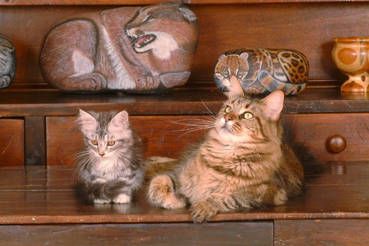 Stock Photo: 3153-716311 maine coon cats