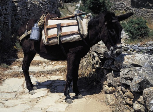 Stock Photo: 3153-716872 greece, sifnos, a mule