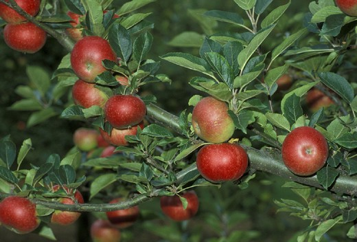 apples from suffolk, bury st.andrew, great britain : Stock Photo