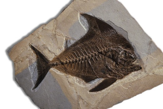 fish fossil : Stock Photo