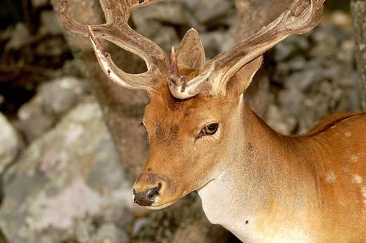 fallow deer, dama dama : Stock Photo