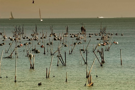 mussel farming : Stock Photo