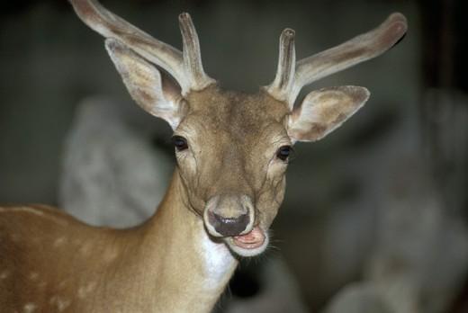 fallow deer, alzano lombardo, italy : Stock Photo