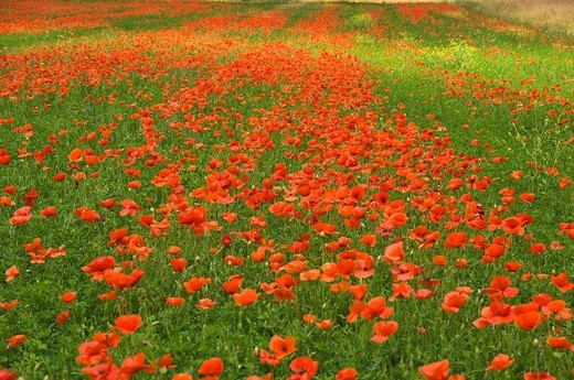 Stock Photo: 3153-731128 poppies