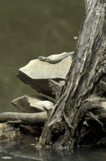grass snake, cres island, croatia : Stock Photo