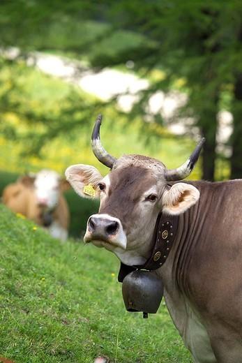 cows : Stock Photo