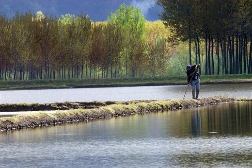 rice paddy, monferrato, piemonte, italy : Stock Photo