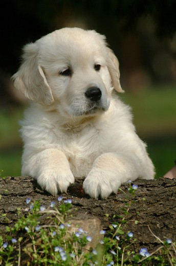 Stock Photo: 3153-741648 golden retriver, puppy