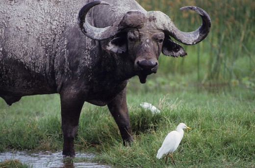 Stock Photo: 3153-743770 africa, buffalo, syncerus caffer