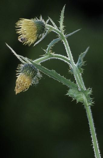 cirsium erisithales flowers, alzano lombardo, italy : Stock Photo