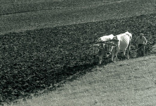 Stock Photo: 3153-746269 ploughing with oxen