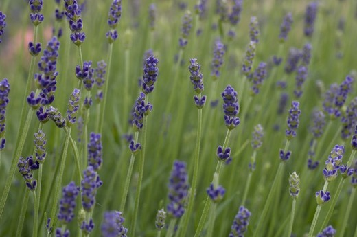Stock Photo: 3153-751259 lavender flowers, monza, italy