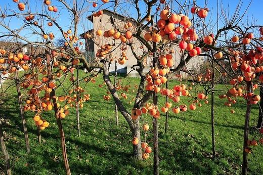 Stock Photo: 3153-761908 europe, italy, piemonte, zimone, persimmon trees