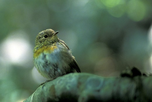 robin in a wood, plitvice n.p., croatia : Stock Photo