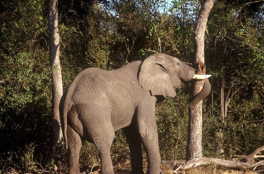african elephant : Stock Photo