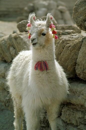 Stock Photo: 3153-768898 bolivia, lama
