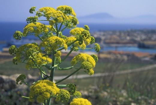 ferula communis flowers, favignana island, italy : Stock Photo