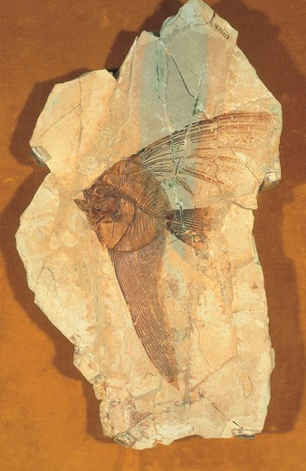 fossil of a fish : Stock Photo