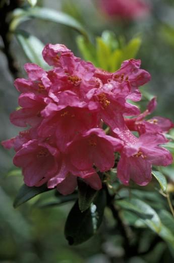 Stock Photo: 3153-778304 rhododendron ferrugineum flowers, calvi hut, italy