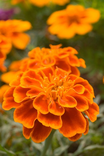 Stock Photo: 3153-779065 orange marigold