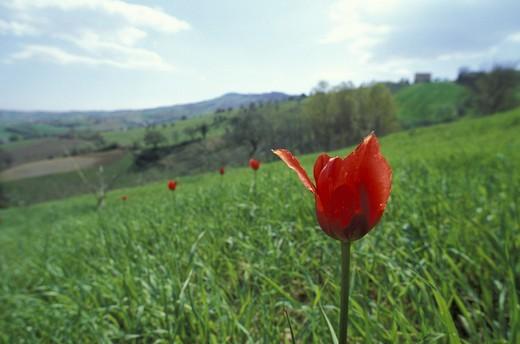 Stock Photo: 3153-780340 tulipa oculus-solis flower, cupramontana, italy