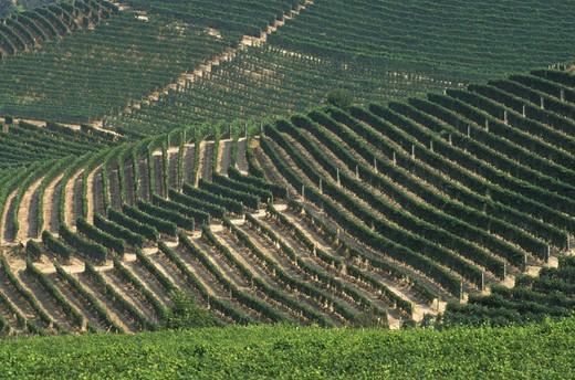 vineyards, castiglione falletto, italy : Stock Photo